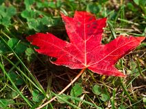 Closeup of red maple leaf on the grass. Closeup of bright red maple leaf on the grass Royalty Free Stock Photography