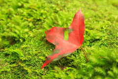 Closeup of red maple leaf Stock Photography