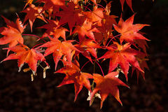 Closeup of Red Maple Leaves against Dark Background Royalty Free Stock Image