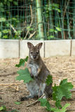 Closeup of a Red-necked Wallaby baby Royalty Free Stock Photo