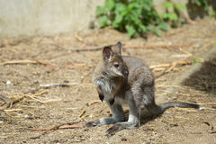 Closeup of a Red-necked Wallaby baby Stock Image