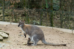 Closeup of a Red-necked Wallaby Royalty Free Stock Image