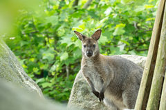 Closeup of a Red-necked Wallaby (Macropus rufogriseus) Stock Images