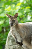Closeup of a Red-necked Wallaby (Macropus rufogriseus) Royalty Free Stock Photo