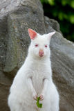Closeup of a Red-necked Wallaby white albino female Stock Image