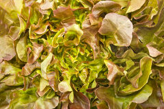 Closeup red oak leaf lettuce Royalty Free Stock Photos
