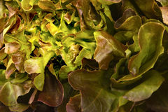 Closeup red oak leaf lettuce Stock Photo
