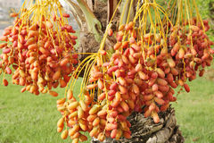 Closeup of red and orange dates clusters Stock Photography