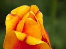 Closeup of red orange tulip with droplets of water. Royalty Free Stock Image