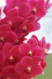 Closeup of red orchid blossoms Stock Photos