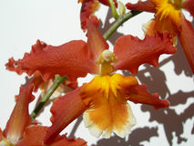 Closeup on a red orchid Stock Photography
