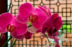 Closeup of red orchids Royalty Free Stock Image