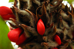 Closeup of red palm seeds. This is a macro closeup of a palm bud with red seeds on it stock photos