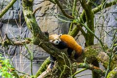 Closeup of a red panda laying in a tree, Endangered animal specie from Asia royalty free stock photos
