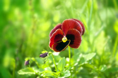 Closeup of red pansy flowering in spring time Stock Photos