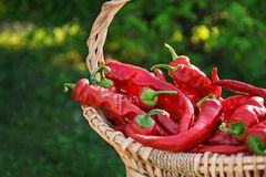Closeup of red pepper in the basket basket outdoors Royalty Free Stock Photo