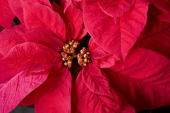 Closeup of Red Poinsettia In Flower Stock Photography