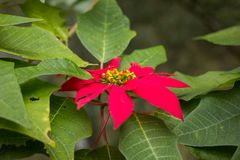Closeup of red poinsettia flowers. Euphorbia pulcherrima Stock Image