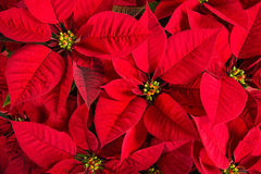 Closeup of red poinsettia flowers Stock Photos