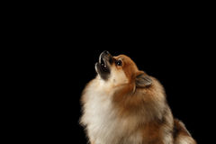 Closeup Red Pomeranian Spitz Dog howls isolated on Black Background Royalty Free Stock Images
