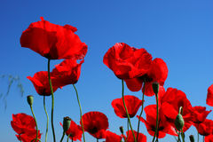Closeup of red poppies on blue sky1. Closeup of red poppies on blue sky Stock Photo