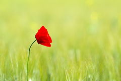 Closeup of red poppies on cereal field Stock Photos