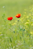 Closeup of red poppies on cereal field Royalty Free Stock Images