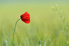 Closeup of red poppies on cereal field in summer Stock Photos