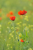 Closeup of red poppies on cereal field in summer Royalty Free Stock Photos