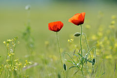 Closeup of red poppies on cereal field in summer Royalty Free Stock Photo