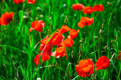 Closeup red poppies Royalty Free Stock Photos
