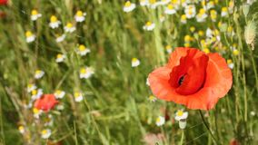 Closeup of red poppies stock footage