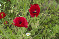 Closeup of red poppies Papaver rhoeas on green background. Stock Photo