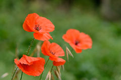 Closeup of red poppies from side Royalty Free Stock Images