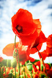 Closeup of red poppies Royalty Free Stock Images
