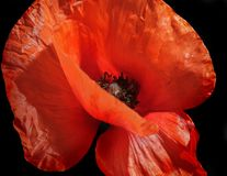 Closeup of red poppy Royalty Free Stock Photography