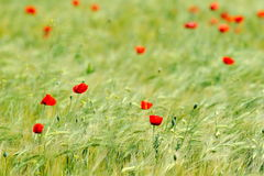 Closeup of red poppy on cereal field Stock Photography