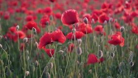 Closeup of red poppy flower in field at sunset, slider shot