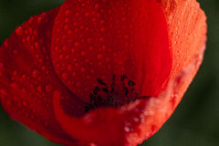 Closeup of red poppy. Closeup of fresh red poppy after a shower with black background Stock Image
