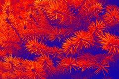 Closeup pine tree royalty free stock image