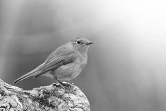 Closeup of Red robin in black and white Stock Photography