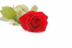 closeup red rose arkivbilder
