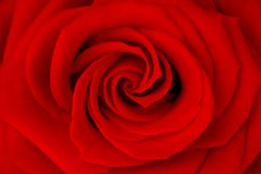Closeup red rose Stock Image