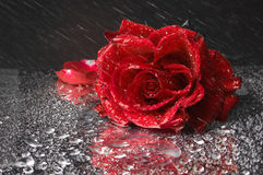 Closeup of red rose on black Stock Photos