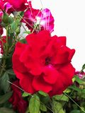 Closeup red rose. Green leaf and white background Royalty Free Stock Photography