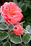 Icy Rose. Closeup of a red rose covered by morning frost stock image