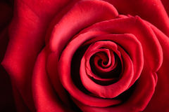 Closeup red rose flower as love nature background. Gift for special occasion. Closeup of beautiful blossoming red rose flower as love or nature background Royalty Free Stock Photography