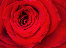 Closeup of red rose flower Royalty Free Stock Image
