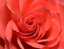 Closeup of Red Rose Flower Royalty Free Stock Images