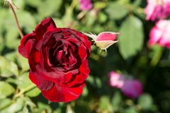 Closeup red rose flowers on tree, Romance concepts, Macro images. Closeup red rose on tree, Romance concepts for valentines day stock image